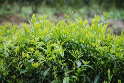 单枞茶属于什么茶