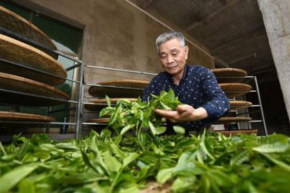 饶平单丛茶多少钱一斤